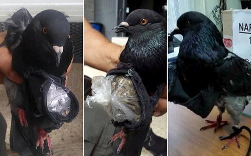 Chim bồ câu bị bắt khi mang ma túy vào trại giam